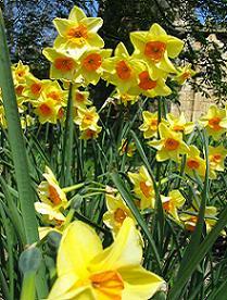 daffodil garde